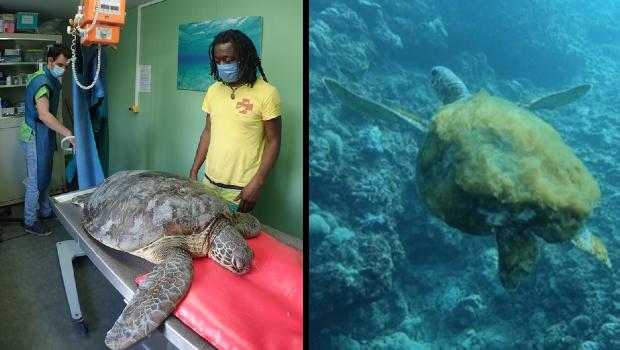 LA REUNION LA REUNION Kelonia : deux tortues victimes d'un choc avec un bateau